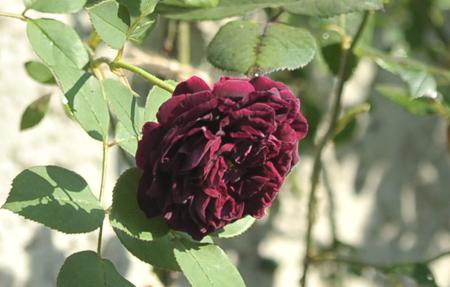 ブラックベリーニップ2015526-2