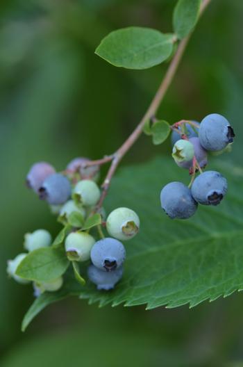 blueberry2015604-3.jpg