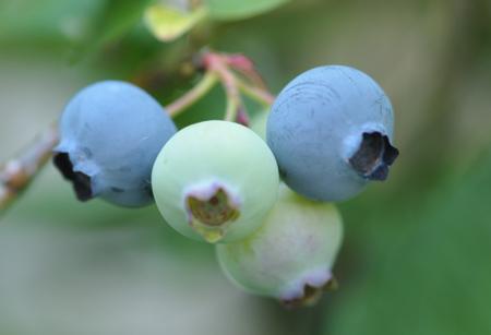 blueberry2015604-4.jpg