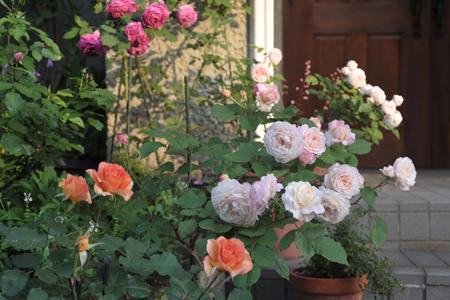 roses2015514-18a.jpg