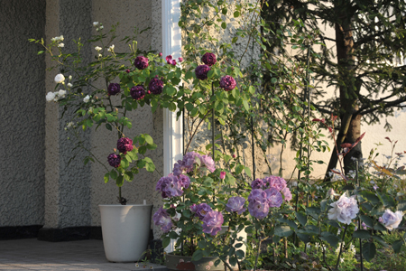 roses2015514-4a.jpg