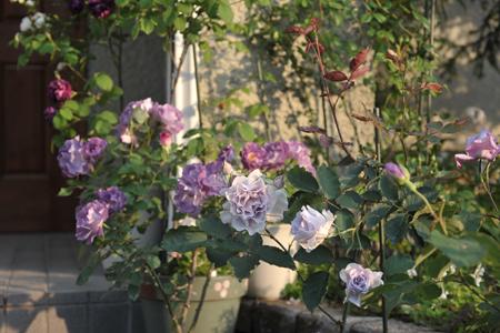 roses2015514-5a.jpg