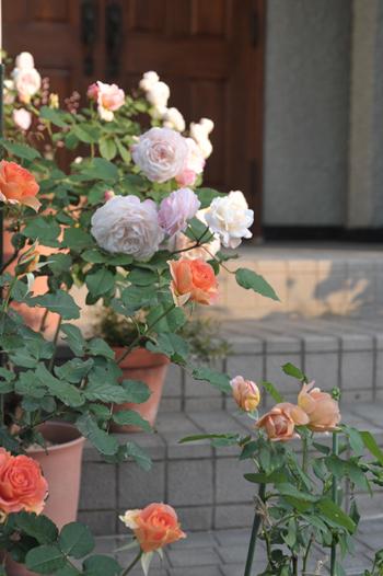 roses2015514-6a.jpg