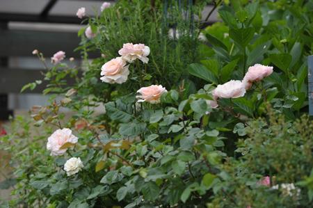 roses2015517-1a.jpg