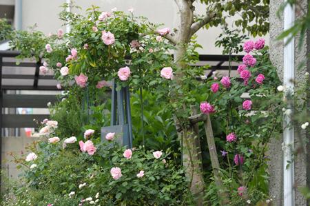 roses2015517-3a.jpg