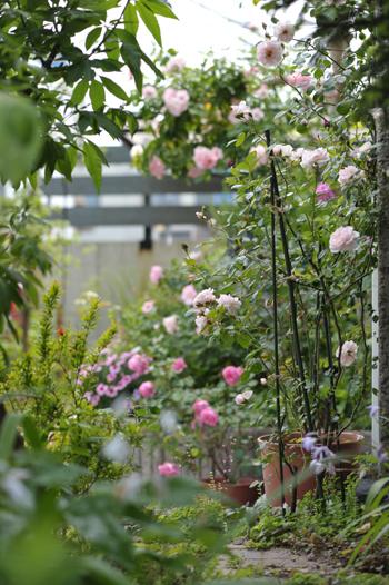 roses2015522-2.jpg