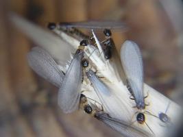 カンモンシロアリ翅蟻