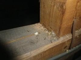 天井裏のカンザイシロアリ