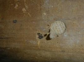床下のカンザイシロアリ