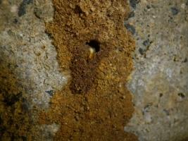床下のイエシロアリ
