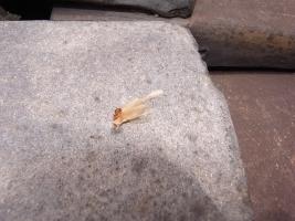 イエシロアリ翅蟻