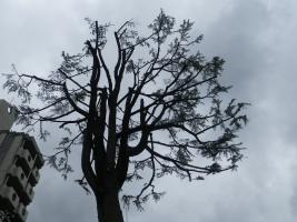 伐採前の樹木