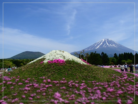 150511shibazakura13.jpg