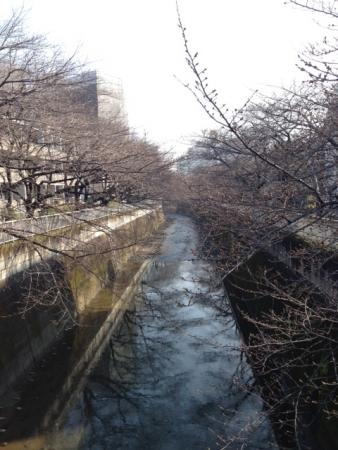 2015東中野桜開花気t向き
