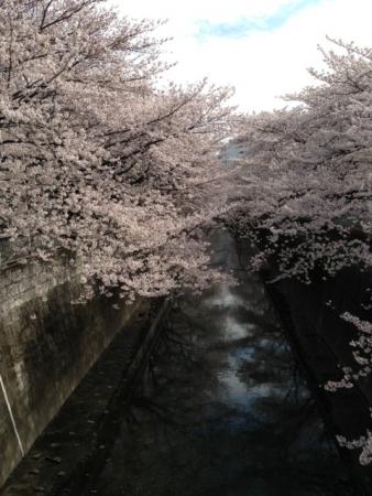 2013東中野の桜5