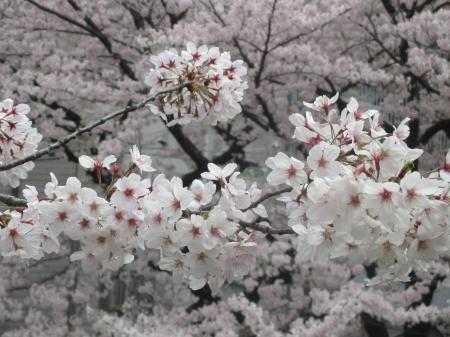 2015東中野の桜2