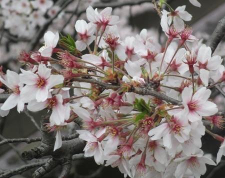 2015東中野の桜4