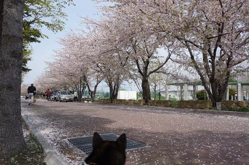 安春川の桜①