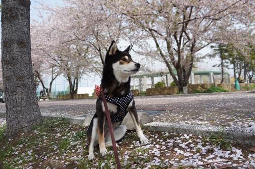 安春川の桜②