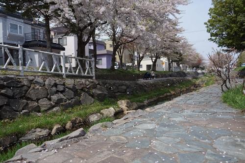 安春川の桜⑤