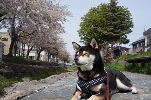 安春川の桜⑦