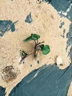 サツマイモ20150529