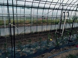 トマト20150601