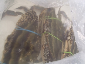 9渡り蟹2015530