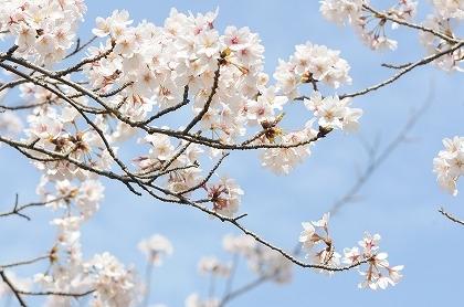 桜resize