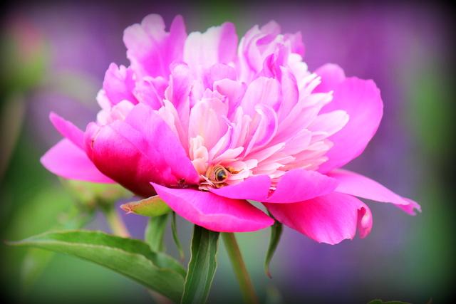 花の写真 芍薬 ピンク ミツバチ みつばち 蜜蜂