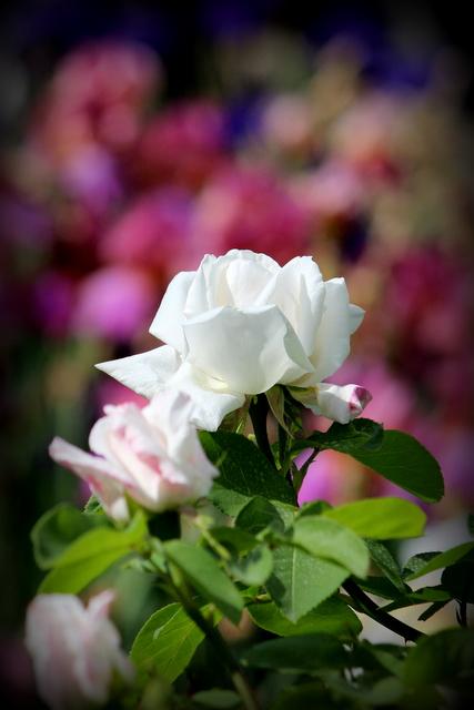 バラ ばら 薔薇 花の写真