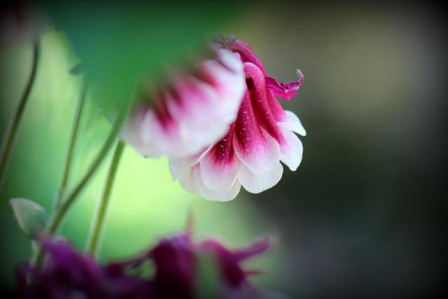 花の写真 オダマキ