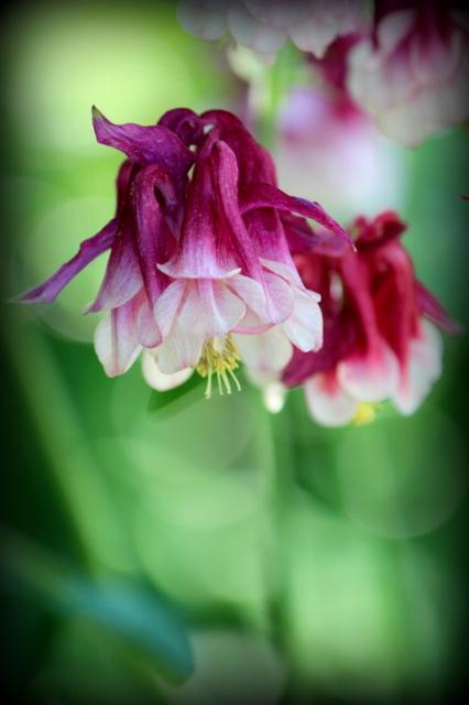 オダマキ 花の写真