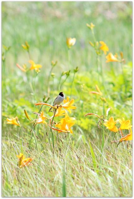 青森県 つがる市 ベンセ湿原 野鳥の写真 コジュリン 観光 花の写真 ニッコウキスゲ