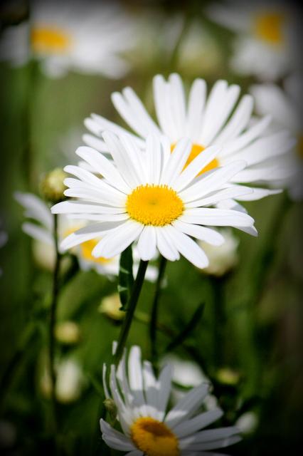 花の写真 マーガレット ピンク 白 ミツバチ みつばち 蜜蜂