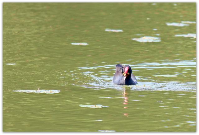 野鳥 鳥 水鳥 バン 鳥の写真 野鳥の写真 水鳥の写真