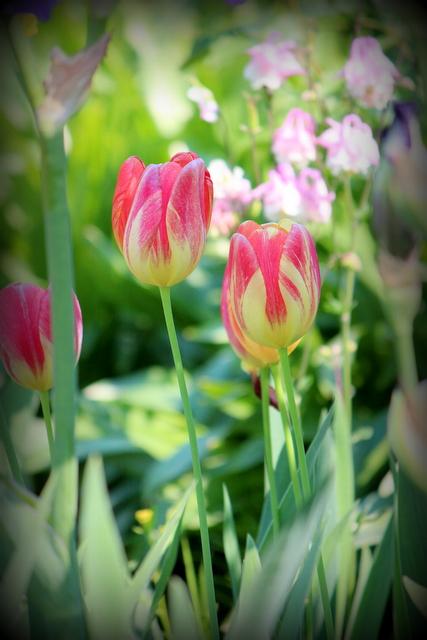 チューリップ 花の写真