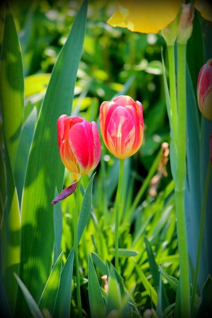 花の写真 チューリップ