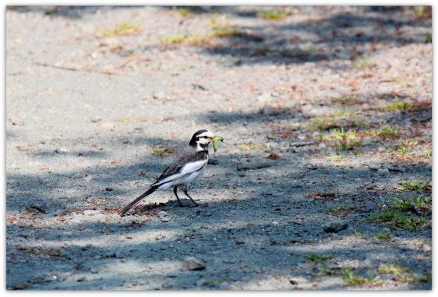 青森県 野鳥 鳥の写真 ハクセキレイ 猿賀公園