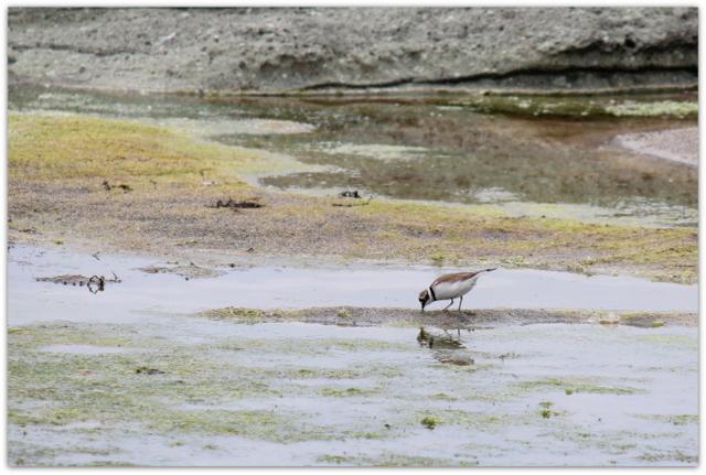 コチドリ 鳥 野鳥の写真
