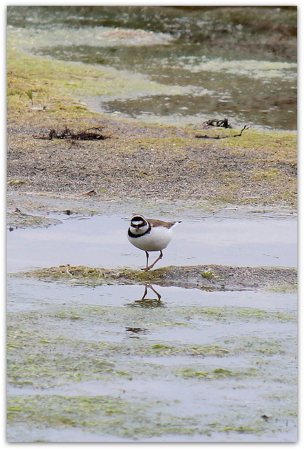 鳥 野鳥の写真 コチドリ