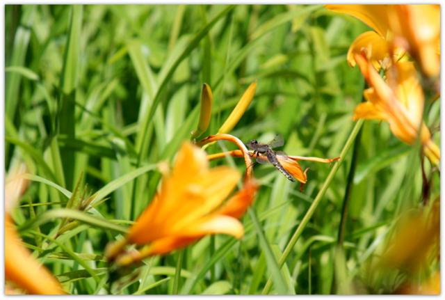 青森県 つがる市 ベンセ湿原 ニッコウキスゲ 観光 花の写真 野鳥の写真