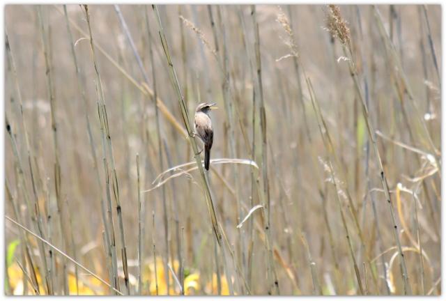 青森県 つがる市 ベンセ湿原 観光 野鳥の写真 コヨシキリ 花の写真 ニッコウキスゲ