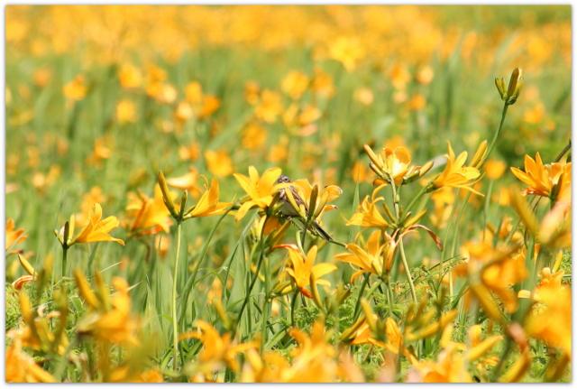 青森県 つがる市 ベンセ湿原 ニッコウキスゲ 観光 花の写真 野鳥の写真 ホオアカ