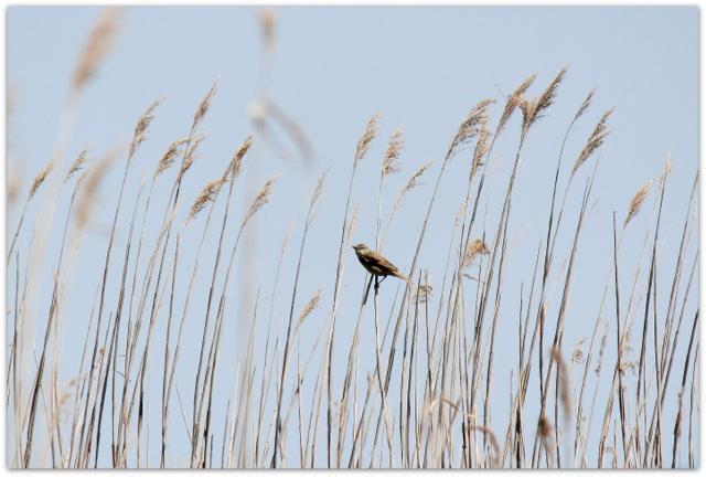 青森県 つがる市 ベンセ湿原 観光 野鳥の写真 コヨシキリ 花の写真 ニッコウキスゲ 野鳥