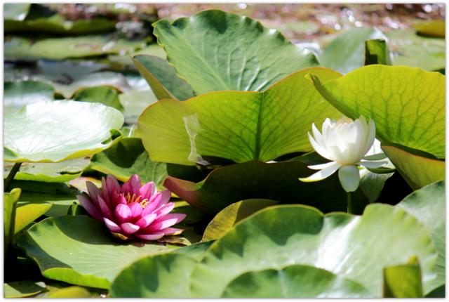 青森県 つがる市 高山稲荷神社 蓮の花