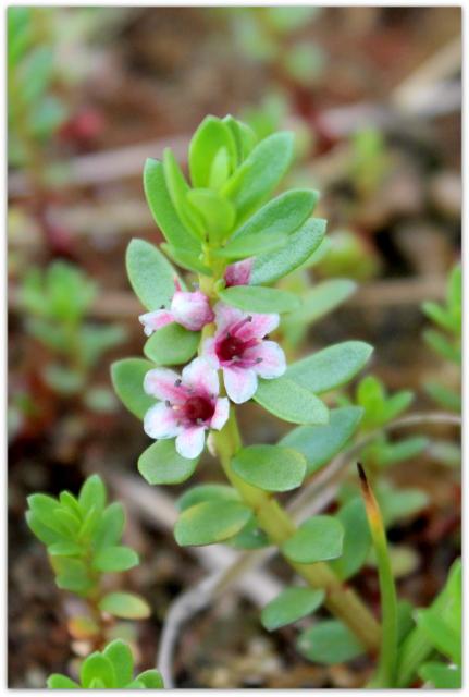 青森県 仏ヶ浦 ウミミドリ 野草 岩場の花 海岸の花