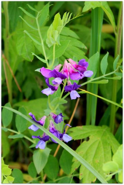 青森県 仏ヶ浦 ハマエンドウ 野草 岩場の花 海岸の花