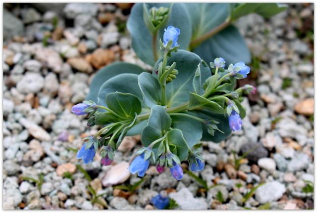 青森県 仏ヶ浦 ハマベンケイソウ 野草 岩場の花 海岸の花