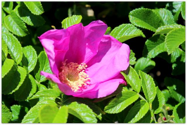 青森県 尻屋崎 海岸 岩場の花 海岸の花 ハマナス